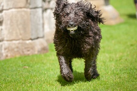 Black labradoodle dog making eye contact while running with a ball in its mouth Foto de archivo - 150111506