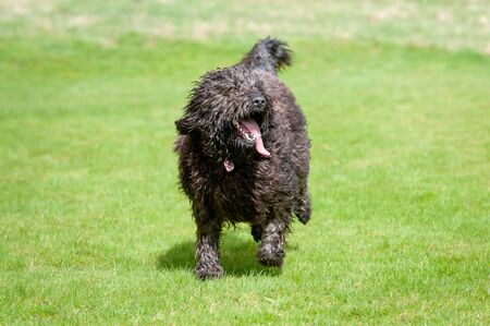Furry black labradoodle dog running towards camera with its tongue sticking out Foto de archivo