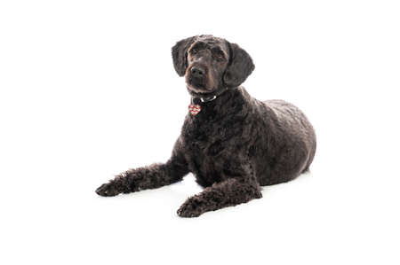 An inquisitive black Labradoodle lay on white studio background.