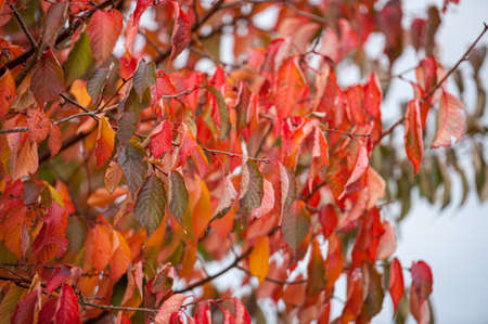 Vibrant red autumn leaves on a tree. Foto de archivo
