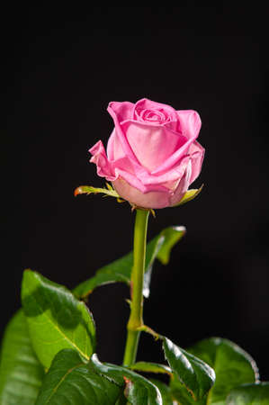 A single pink rose with green leaves isolated on a black background.
