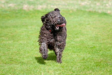 Black labradoodle dog with its tongue sticking out runs towards camera.