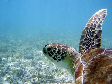 st john: St John Virgin Island under water turtle caribbean Stock Photo