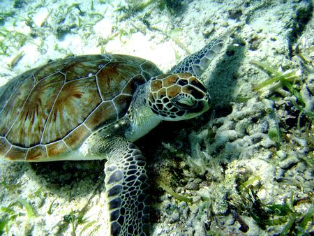 st john: St John Virgin Island under water turtle