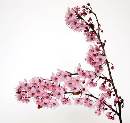 美しいピンクの花、白い背景で隔離の桜の木からの小枝