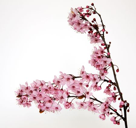 A sprig from a cherry tree with beautiful pink flowers isolated on a white background