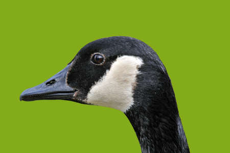 goose head: Canada Goose head isolated on green Stock Photo