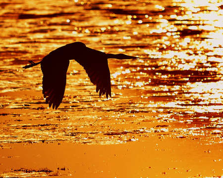 Silhouette of Great Blue Heron against golden sunset water Stock Photo - 8620431