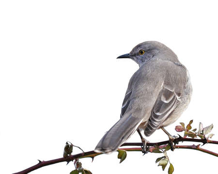 avian: Northern Mockingbird perched on thorny branch isolated on white
