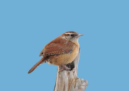 thryothorus: Carolina Wren on a perch on sky blue background