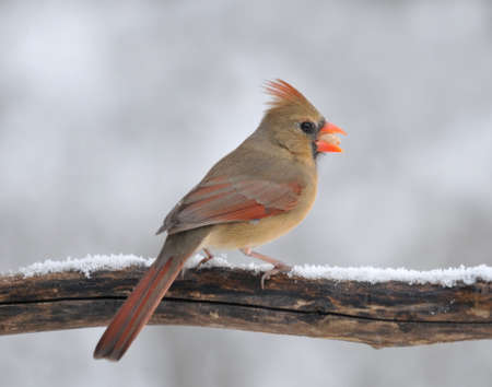 redbird: Perched female Northern Cardinal eating a peanut  Stock Photo