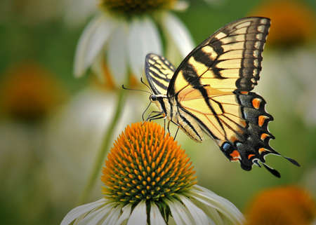 swallowtail: Eastern tiger swallowtail butterfly (papilio glaucus linnaeus) on coneflower (echinacea purpurea)