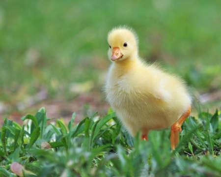 anser: Cute baby greylag goose (anser anser) in grass Stock Photo