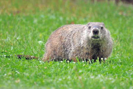 Grounhog (aka woodchuck) (marmota monax) in grass Stock Photo