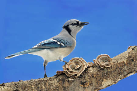 bluejay: Blue Jay (cyanocitta cristata) perched on turkey tail fungus (trametes versicolor) on blue background