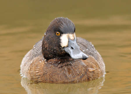 scaup: Lesser Scaup (Aythya affinis) hen in water