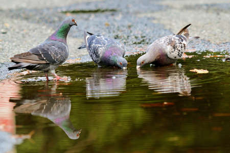 Rock Pigeons (Colomba livia) drinking from a puddle
