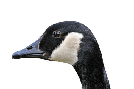 branta: Canada Goose (Branta canadensis) head and neck isolated on white Stock Photo