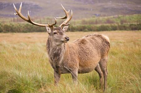 cervus elaphus: Red Deer Stag  cervus elaphus  in field