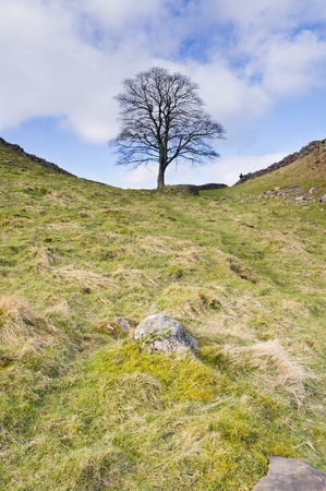 Iconic tree at Hadrians Wall Sycamore Gap vertical