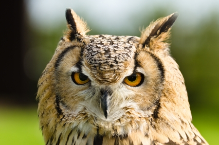Close up portrait of an Indian Eagle Owl  Bubo Bengalensis  Stock Photo