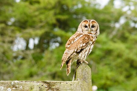 tawny owl: Tawney Owl  strix aluco  perched on fence also known as the brown owl  Stock Photo