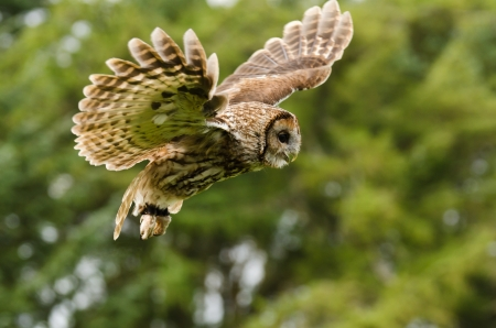 tawny: Tawny or Brown Owl captured in flight Stock Photo