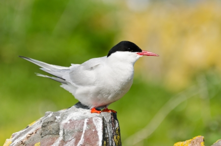 Arctic Tern  Sterna paradisaea  perched on a rock are a spring visitors to nest on the Farne Islands in the UK Stock Photo