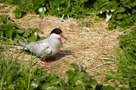 Arctic Tern with egg in nest   Sterna paradisaea  are spring visitors to nest on the Farne Islands in the UK photo