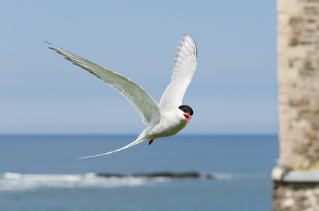 Arctic Terns flies in  Sterna paradisaea  are a spring visitor to nest on the Farne Islands in the UK photo
