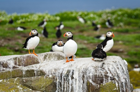 arctica: Puffins on Farne Island  fratercula arctica  are a spring visitor to nest