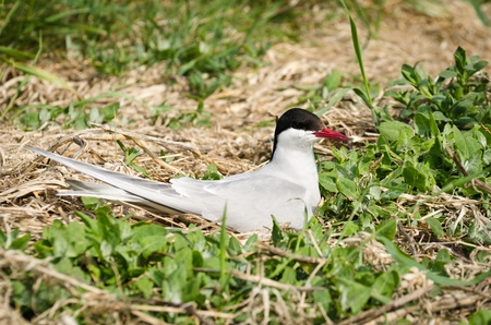 Arctic Terns on nest  Sterna paradisaea  are a spring visitor to the Farne Islands in the UK photo
