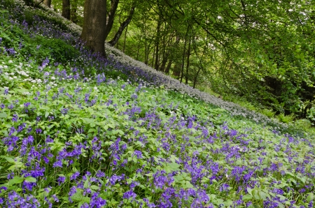 Bluebells and Wild Garlic at Allen Banks Northumberland in spring photo