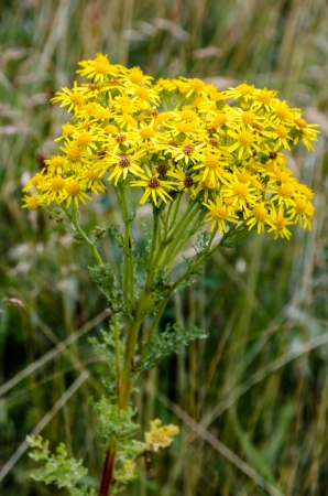 The Ragwort is a wildflower found all over the UK