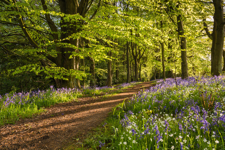 Path through Morpeth Bluebell Wood in Northumberland known for its fine walks in springtime 免版税图像