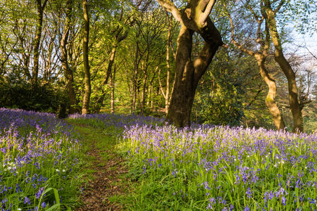 Bluebell Wood trail through Morpeth Bluebell Wood in Northumberland known for its fine walks in springtime photo