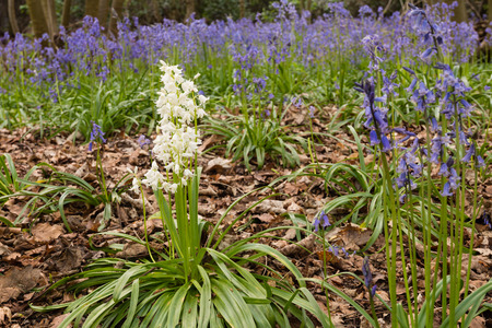 White Bluebell in Morpeth Bluebell Wood Northumberland known for its fine walks in springtime photo