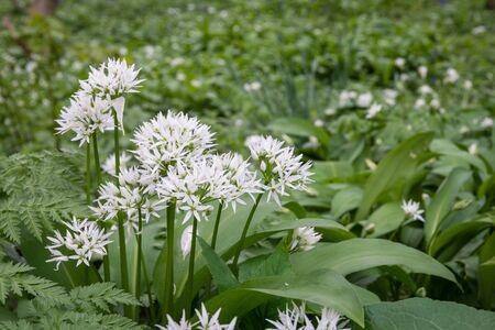 bunch up: Bunch of Wild Garlic  Wild Garlic on the woodland floor in close up