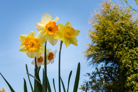 viewed: Daffodils in the Sky  Spring Daffodils viewed from below backlit on a sunny day against a blue sky Stock Photo