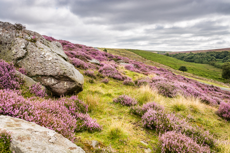 the crags: Goathland Moor Heather and Crags  Goathland Moor in the North York Moors National Park is covered in pink-purple heather during September