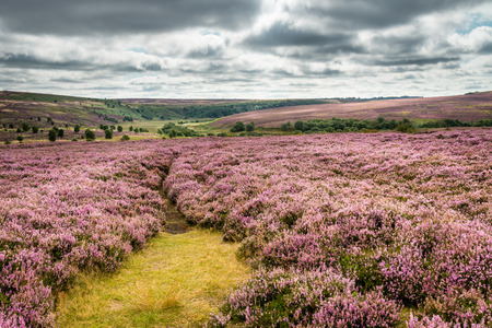 Yorkshire Dales: Goathland Moor Heather  Goathland Moor in the North York Moors National Park is covered in pink-purple heather during September Stock Photo