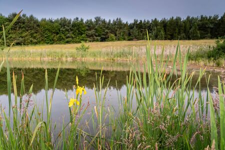 Yellow Flag Iris, at East Cramlington Local Nature Reserve, in Northumberland, which provides free and easy access to nature Stock Photo