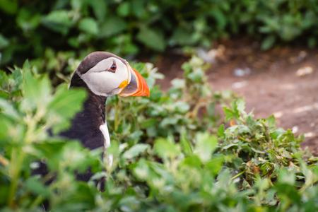 Farne Islands Puffin Close-up, which winter in the oceans, returning to land for the breeding season where they nest in burrows