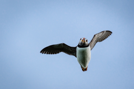 Flying Puffin at Farne Islands, which winter in the oceans, returning to land for the breeding season where they nest in burrows