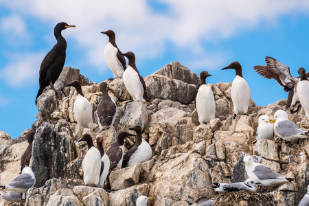 Colony of Seabirds at Farne Islands, cling to the cliff face on Staple Island, in the breeding season