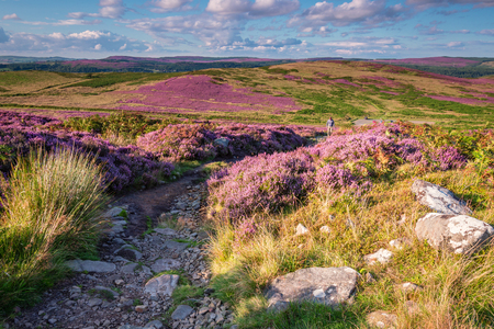 Footpath to Simonside Hills, which are popular with walkers and hikers, they are covered with heather in late summer, and are part of Northumberland National Park, overlooking Coquetdale and Cheviot Hills 免版税图像