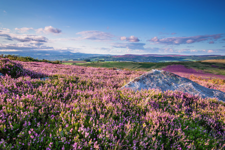 Carpet of Heather on Simonside Hills, which are popular with walkers and hikers. They are part of Northumberland National Park overlooking Coquetdale and Cheviot Hills