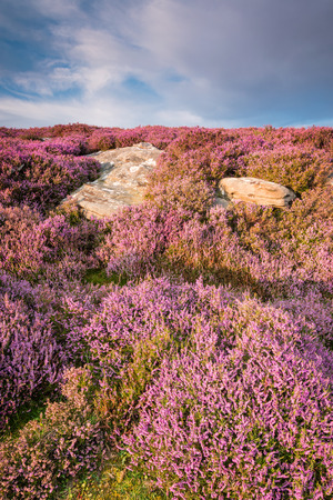 Heather on Rothbury Terraces portrait, which walk offers views over the Coquet Valley to the Simonside and Cheviot Hills, heather covers the hillside in summer