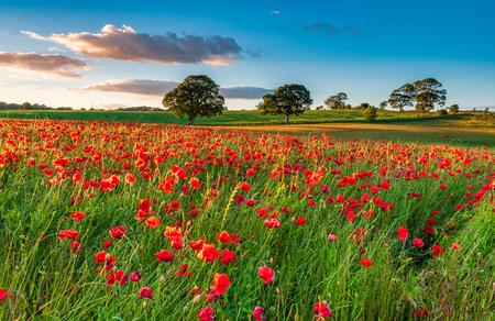 Campo de amapolas rojas, en verano cerca de Corbridge en Northumberland Foto de archivo