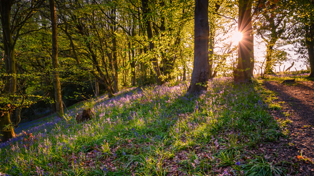 Morpeth Bluebell Wood Sun Star, an ancient woodland also known as Howburn Woods, which are carpeted with bluebells in spring and is popular with walkers